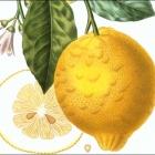 Exposition Le Citron de Menton, Un Fruit d'exception