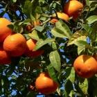 Recette de Vin d'Orange, une Tradition du Comté de Nice et de Provence